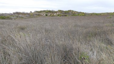 There are six patches of this these endangered grasses in Lancelin and three will be lost if the proposed caravan park goes ahead.