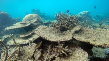 Table corals killed by bleaching at Zenith Reef, in the north.