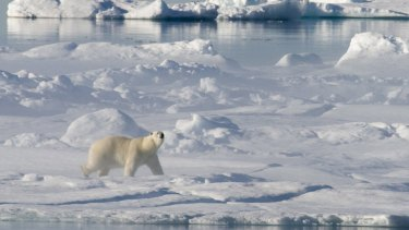 A polar bear in Baffin Bay above the Arctic circle, where the ice is melting.