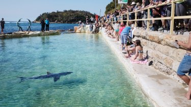 The shark nicknamed Fluffy rescued from Manly Beach swims in a local pool.