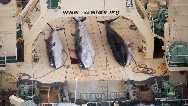 Minke whales aboard the Japanese factory ship Nisshin Maru in 2014.