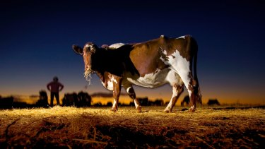 Production drive: Australian milk output has fallen about 20 per cent in 10 years.