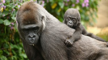Born into controversy: Taronga's new gorilla baby.