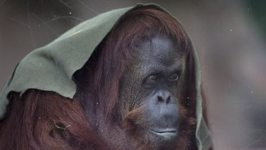 An orang-utan named Sandra may have to stay at the former Buenos Aires Zoo in Argentina.