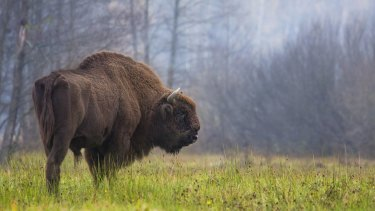 A bison grazes in the Bialowieza Forest.