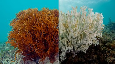 """The effects of coral bleaching, as shown on this fire coral, would be """"terrifying"""" for the Great Barrier Reef."""