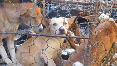A terrified dog awaiting slaughter peers from a cage at the Tomohon Extreme Market in Indonesia.