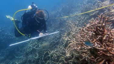 Surveying dead branching corals at Day Reef, near Lizard Island.