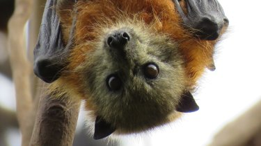 WIRES is urging people not to touch any injured, sick or abandoned flying foxes.