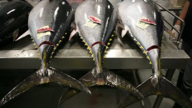 Tuna caught in Port Lincoln to be packed and shipped to Japan.