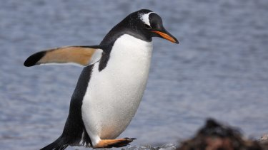 A gentoo penguin on the Kerguelen Islands.