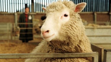 Dolly, the world's first cloned animal, in 1997 aged seven months.