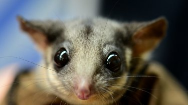 The Leadbeater's possum, one of Australia's threatened small species.