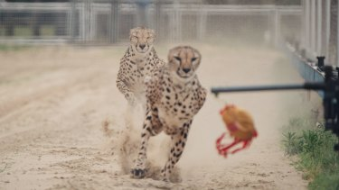 "The Shanghai Wild Animal Park promotes a ""one-hundred-metre race show between African Cheetah and Australian greyhound""."