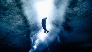 A Weddell seal beneath the Antarctic ice.