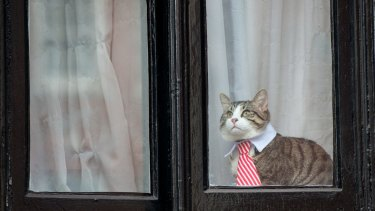 A cat wearing a striped tie and white collar looks out of the window of the Embassy of Ecuador as Swedish prosecutors question Julian Assange .