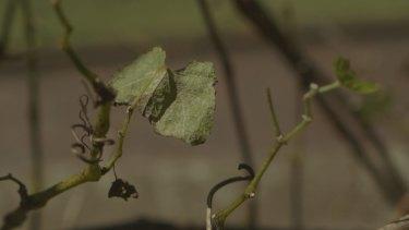 The coffee-growing grape vine in Sydney's Royal Botanic Gardens.