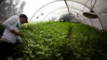 A government facility for growing medical marijuana in Israel.