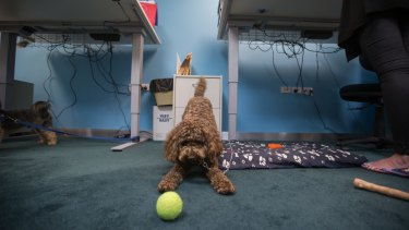Suki, the labradoodle, at the VicHealth office in Melbourne on Friday.