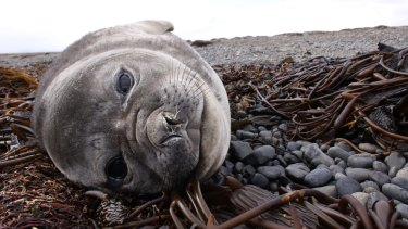 An elephant seal calf in the French sub-Antarctic territory of the Kerguelen Islands.