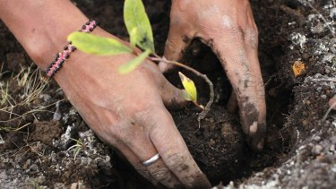 A worker plants seedlings at Huayquecha Biological Station near Paucartambo. Locals farming in areas of the Peruvian rainforest burn fields to improve soil quality, which creates carbon dioxide emissions. The seedlings – part of a reforestation initiative promoted by the Amazon Conservation Association – will mature into trees to fight global warming.