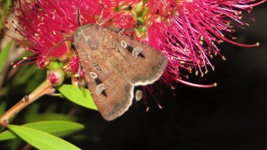 A bogong moth feasting on a blossom in a Canberra backyard in 2013.