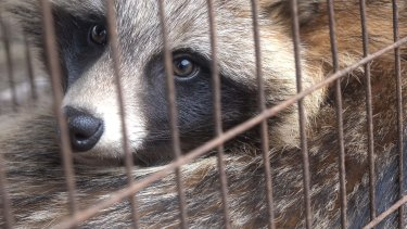 A raccoon dog waits for death in a cage at a fur farm in China.