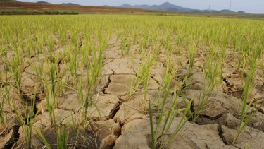 Rice plants grow from the cracked and dry earth in Ryongchon-ri in North Korea in 2012. The country is again in the midst of a drought.