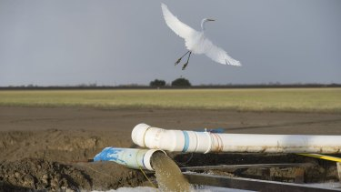 An egret flies over a canal where drainage water is recycled to preserve farmland in Firebaugh, California.