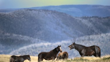 Brumbies in the high country in Falls Creek with Mount Hotham in the background.