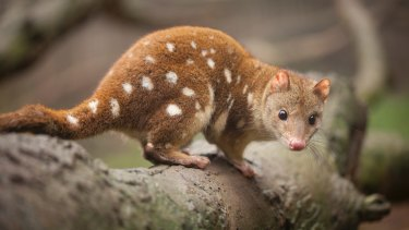 Spotted-tail quoll, officially considered an endangered species.