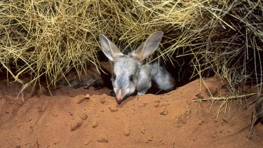 New public private partnership model to protect Queensland's bilbies and night parrots.Photo: Kathie Atkinson