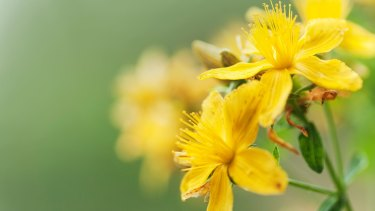 St John's Wort is a flowering plant which some studies have shown to be effective in the treatment of mild to moderate depression.