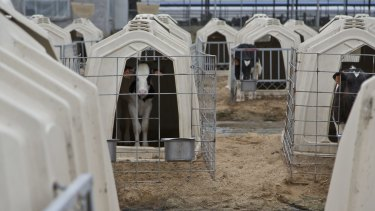 Calves in kennels at a dairy farm in China on.