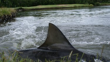 These bull sharks have inhabited Carbrook Golf Course at Loganholme for about 15 years.