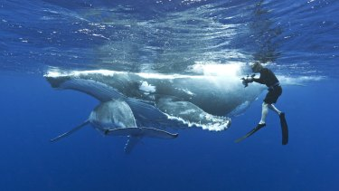 WA will trial humpback whale swimming encounters from June 2016.