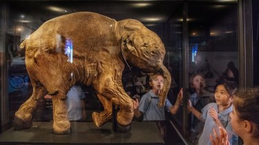 The 42,000-year-old baby woolly mammoth was unveiled on Friday at the Sydney Museum.