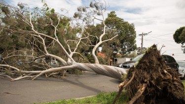 A tree blocked Rossmoyne Street, Thornbury.