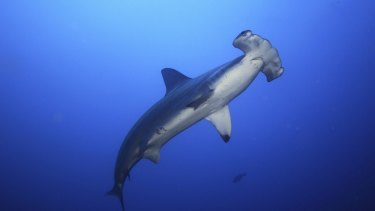 The federal government is seeking to opt out of co-operating with other countries to protect five shark species, including two species of the hammerhead shark (pictured).