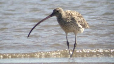 The eastern curlew.