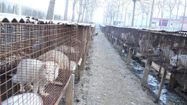 Rows of foxes suffer intense misery in cages at a fur farm.