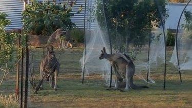 Kangaroos at home on a Heathcote property.