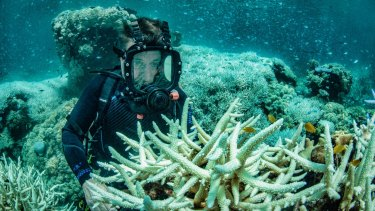 Richard Fitzpatrick examines bleached corals at Vlasoff Reef, north east of Cairns.