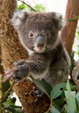 Koala conservation projects will receive an extra $800,000 in 2017-18.