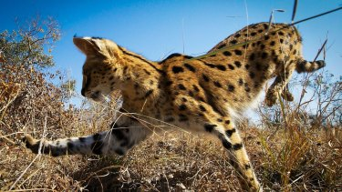 A serval cat in South Africa hunting rodents.