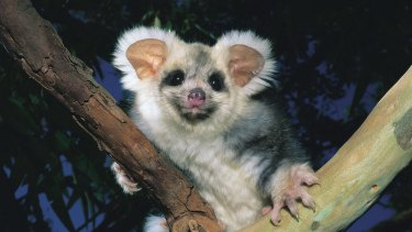 The greater glider is headed for extinction.