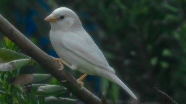 The rare white sparrow spotted in Melbourne.