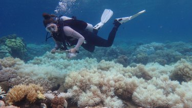 Coral reefs are bleaching at shorter intervals around the world.