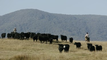 Cattle are rounded up after grazing the high country near Mount Buller.