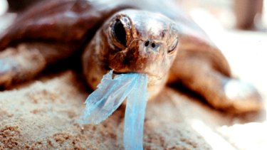 A turtle trying to eat a plastic bag in the Gulf of Carpentaria in northern Australia.